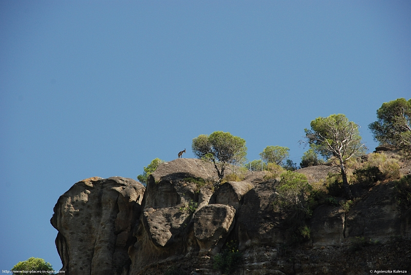 A Rock Goat (Capra ibex) (3/3) photo